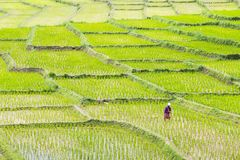 Rice field. Thailand royalty free stock photography