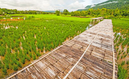 Rice field. In the Thailand Royalty Free Stock Photography