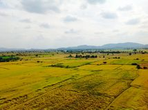 Rice field. In Thailand Royalty Free Stock Photo