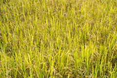 Rice field in Thailand Royalty Free Stock Photos