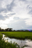 Rice field in Thailand Royalty Free Stock Photography