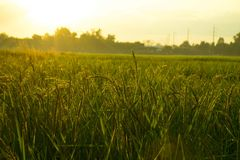 Rice field in thailand and beauty backgroud. royalty free stock images