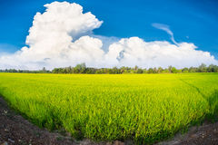 Rice field. From thailand with blue sky Royalty Free Stock Photo