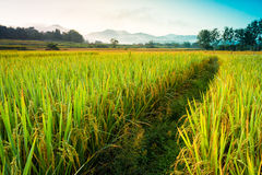 Rice field of thailand with blue sky and cloud Royalty Free Stock Photo