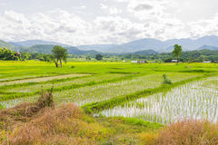 Rice field in Thailand Stock Images