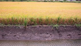 Rice field in Thailand,dolly shot stock video footage