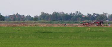 Rice field in Thailand. Rice field in Thailand in the evening Royalty Free Stock Image