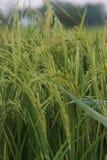 Rice field in Thailand. Rice field in Thailand in the evening Royalty Free Stock Photos