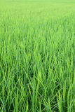 Rice field from Thailand. Lush rice field from Thailand stock photography