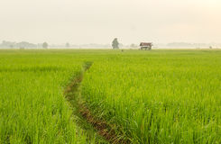 Rice field at Thailand in the morning Royalty Free Stock Photo
