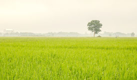 Rice field at Thailand in the morning Stock Photos