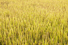 Rice field in thailand Royalty Free Stock Images