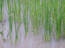 Rice field in Thailand Stock Photos