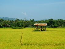 Rice field in Thailand. Rural of Asia and Asian, blue sky and mountain background Royalty Free Stock Photos