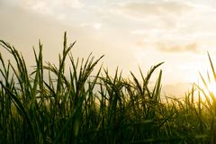 Rice field and sunset backgroun stock image