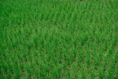 Rice field in Thailand you may find the central of country. /Rice field/ rice field,rice. Thailand Royalty Free Stock Photos