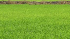 Rice Field with toddy palm Royalty Free Stock Photos