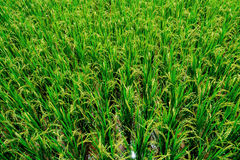 Rice In Field Royalty Free Stock Photo