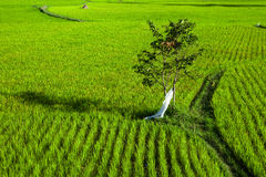 Rice field with a tree and footpath Royalty Free Stock Photos