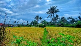 Rice field. When the rice turn into yellow its sign prosperity stock photos
