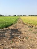 Rice field two color royalty free stock photography