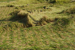 Rice field after the typhoon. In Japan Royalty Free Stock Image
