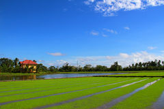 Rice field under the blue sky Royalty Free Stock Photo