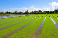 Rice field under the blue sky Stock Photography