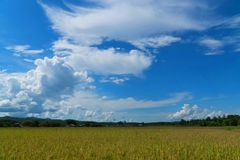 Rice field under blue sky. Field and sky with white clouds. Beauty nature background royalty free stock photography