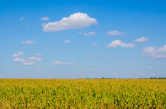Corn field under blue sky with white clouds Royalty Free Stock Photos