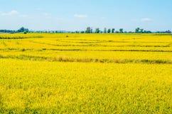 Rice field under blue sky Royalty Free Stock Photos