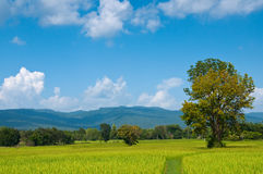 Rice field under Bluesky. Rice is the main Thai food. If you travel in Thailand. You can see Rice field everywhere Stock Photo