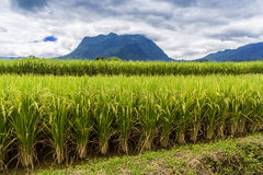 Rice field under cloudy sky Royalty Free Stock Image