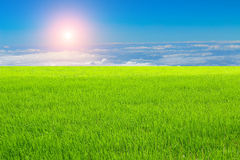 Rice field under the sky Royalty Free Stock Photos