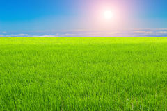 Rice field under the sky Stock Photo