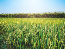 Rice field under the sun. And clear blue sky Stock Photo