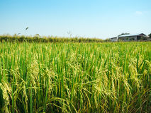 Rice field under the sun and clear blue sky. Rice field under the sun Royalty Free Stock Images