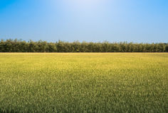 Rice field under the sun and clear blue sky. For design with copy space for text or image Stock Photo