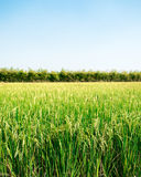 Rice field under the sun and clear blue sky Royalty Free Stock Images