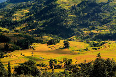 Rice field in the valley Royalty Free Stock Photo