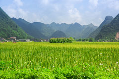Rice field in valley in Bac Son, Vietnam Stock Photography