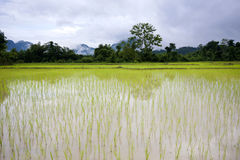 Rice field in Vang Vieng Laos II Stock Images