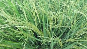 Rice field stock video footage