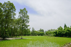 Rice field in verdant sunny summer Royalty Free Stock Photo