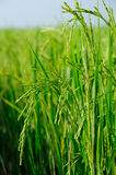Rice field vertical scene Royalty Free Stock Image