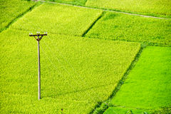 Rice field in Vietnam Stock Photography