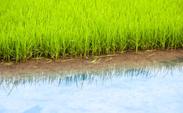 Rice field in Vietnam Royalty Free Stock Photo