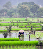 Rice field in Vietnam. Ninh Binh rice paddy Royalty Free Stock Photos