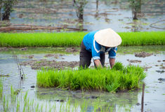 Rice field in Vietnam. Ninh Binh rice paddy Royalty Free Stock Photography