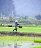 Rice field in Vietnam. Ninh Binh rice paddy Stock Photo